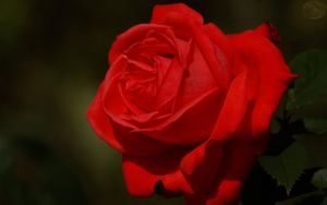 Red Rose of Love II by webcruiser
