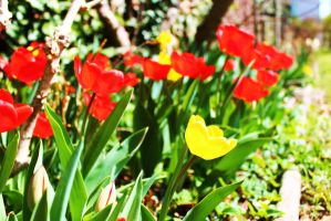 Spring Tulips by PhotonicBohemian