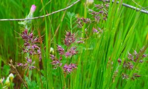 Green grasses 6 by rosetrace