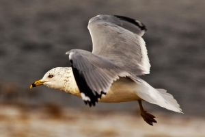 Ring Billed Gull by twombold