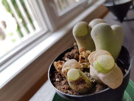 Lithops by taibossigai