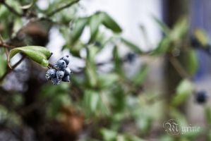 Frosted Berries by Myrine86