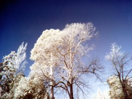 Trees in the Cold: 1 by yaschaeffer