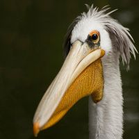 Pelican by v4nity