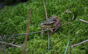 Frog on the Moss 2 by Danimatie