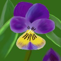 Pansy by Ostria