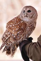 Barred Owl by LorreesWorld