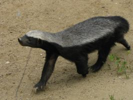 Honeybadger 06 by animalphotos
