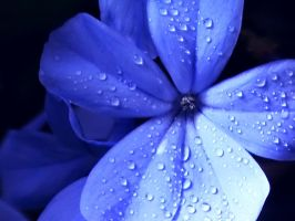 Blue Wet Flower by jlgm25