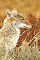 Yellowstone Coyote Profile by Kippenwolf