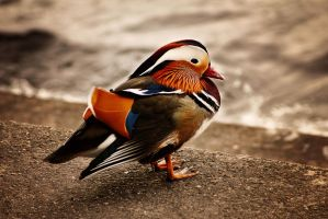 Mandarin Duck by FishCantDance