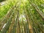 Bamboo Forest by R3dback-Ruud