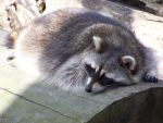 raccoon.. by LidiaL
