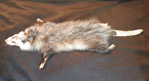 FOR SALE - Mountable Opossum by TabbyFoxTaxidermy