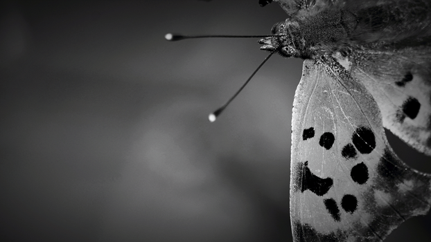 Butterfly Noir by DBoydPhotography