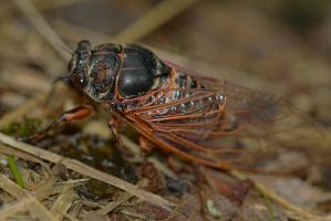 Cicadidae by organicvision