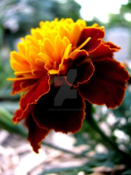 Fire Flower by Petit-chaton