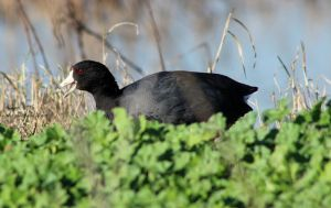 American Coot by lupagreenwolf
