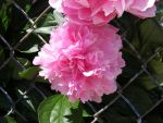 Peony 3 by tereanna