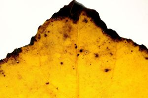Leaf by FeralWhippet