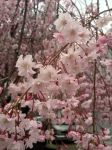 Shidarezakura/Weeping Cherry by 4pplemoon