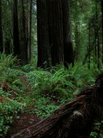 Redwood Forest 8 by Cynnalia-Stock