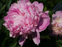 pink peony by ingeline-art