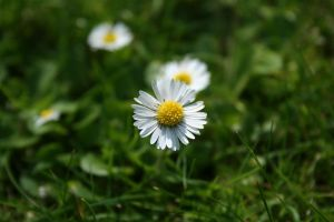 Daisies by michaelpolom