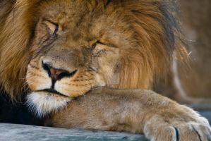 sleeping Lion by oetzy