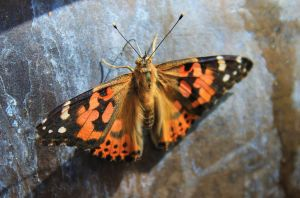 Painted Lady on fountain by Monkeystyle3000