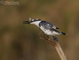 Kingfisher Shake by MorkelErasmus