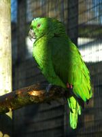 Green parrot by Wadyface