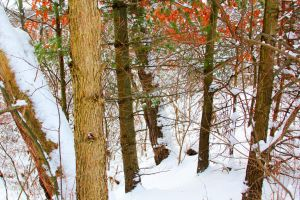 Snowy Woods 05 by Adeimantus