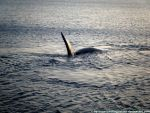 Southern Right Whale XV by Cansounofargentina