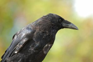 Carrion Crow by Lumen-Venator