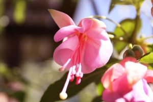 Pink Flower two. by Datts