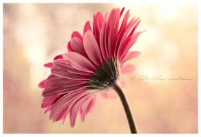 Gerbera by misery53