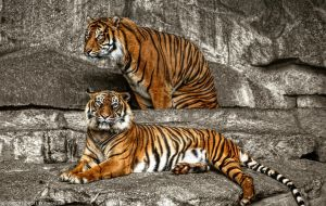 Tigers in Tierpark Berlin by pingallery