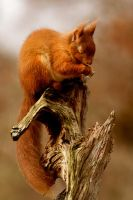 Red Squirrel by Weevil07