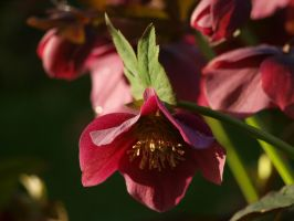 Hellebore at Sunrise 02 by botanystock