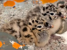 Seagull babies 02 by nordfold