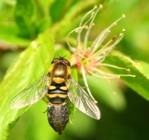 Another hoverfly by Sela01