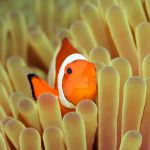 Tropical fish Clownfish IV by MotHaiBaPhoto