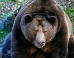 Sleepy brown bear... by TheFunnySpider