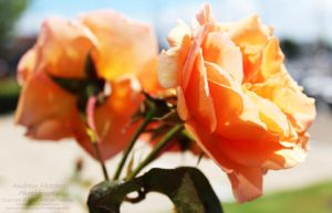 Orange Roses by AndrewFletcher