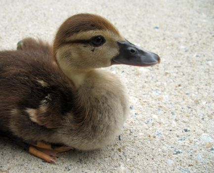 Duckling I by waterfowl