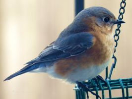 Bluebird,Bluebird at my window by Keziamara