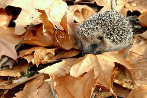 porcupine by nelsonaf