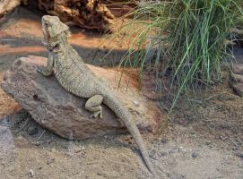 Bearded Dragon by mceric