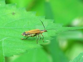 Soldier Beetle by LovingLivingLife